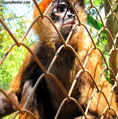 Geoffroy's spider monkeys at Kids Saving the Rainforest in Quepos, Costa Rica
