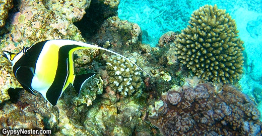 Angelfish on the Great Barrier Reef, Queensland, Australia