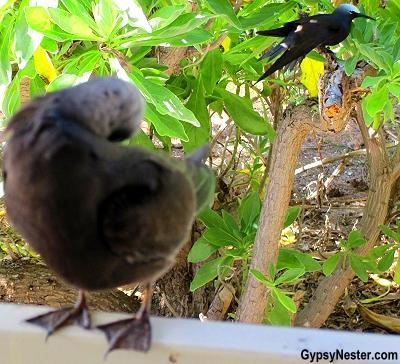 Black noddys come up for a visit on Lady Elliot Island, Queensland, Australia