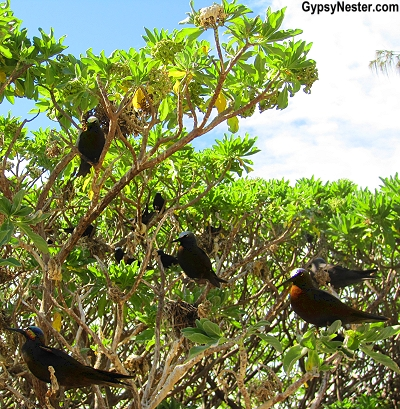 Black noddys on Lady Elliot Island, Queensland, Australia