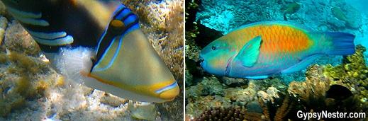 Parrotfish on Lady Elliot Island, Queensland, Australia, GypsyNester.com