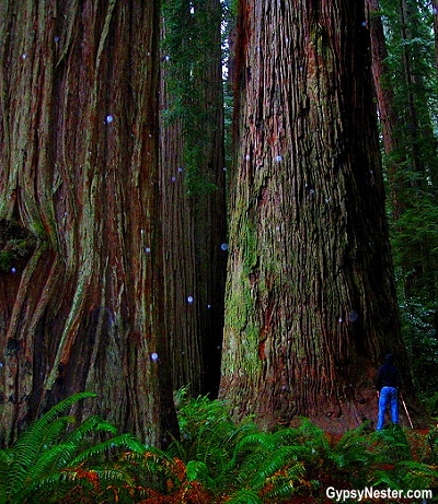 Hiking through the Redwood Forest of California! GypsyNester.com