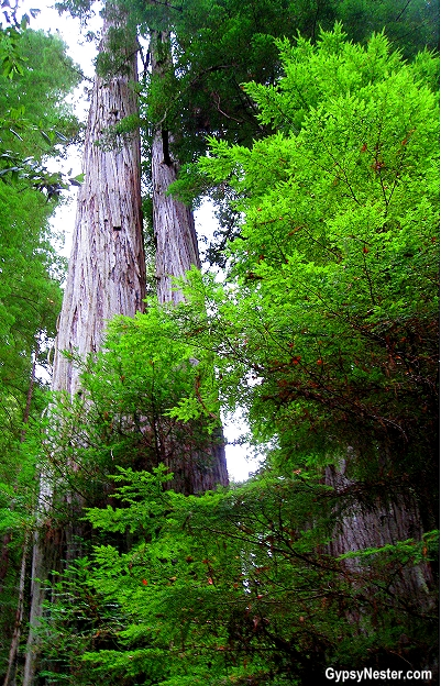 The Redwood Forest in California