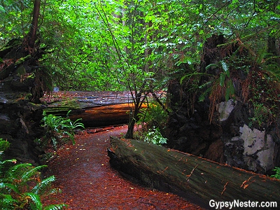 Hiking through the Redwood Forest! GypsyNester.com