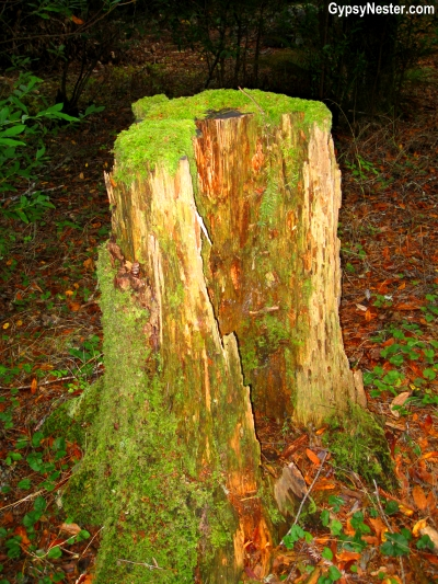 A giant redwood tree stump