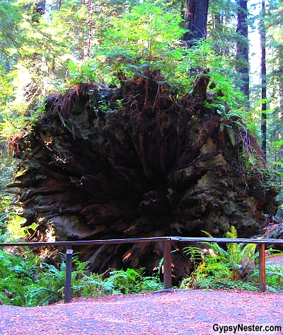 An upended tree in the Redwood Forest of California. GypsyNester.com