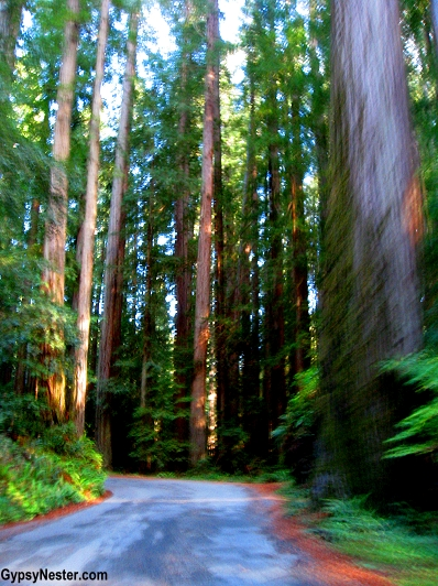 Driving through the Redwood Forest in California