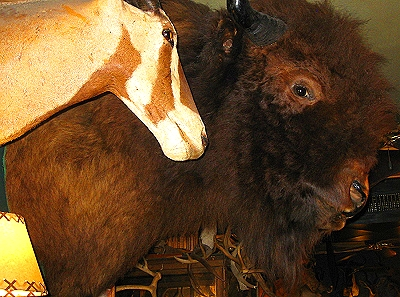 A bison head at The Antlers in Sault St Marie, Michigan