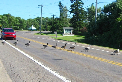 Why did the geese cross the road?