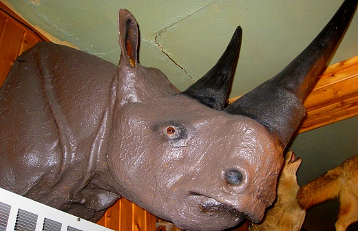 Stuffed rhino at The Antlers in Sault St. Marie