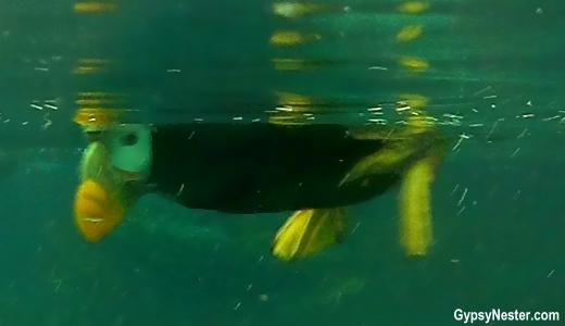 A puffin in the SeaLife Center in Seward, Alaska