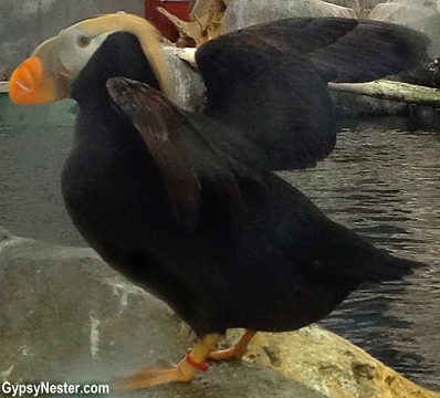 A puffin in the SeaLife Center in Seward, Alaska