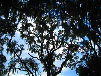 Spanish Moss laden trees, Jekyll Island, Georgia