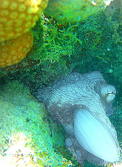 An octopus feasts on a clam St. Croix