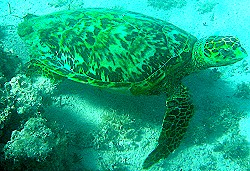 Hawksbill Turtle under the waters of St. Croix