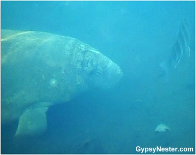Swimming with manatees in Florida!