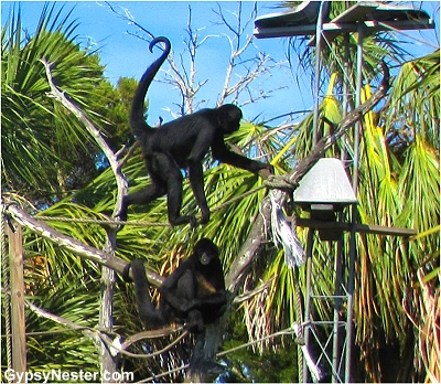Monkey island of The Homosassa Riverside Resort, Florida