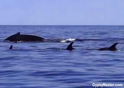 Whales and dolphins near Twillingate, Newfoundland