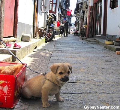 A puppy in the water town of Zhujiajiao, China near Shanghai
