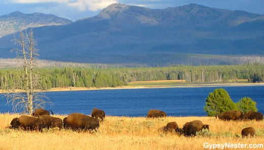 Buffalo at beautiful Yellowstone National Park