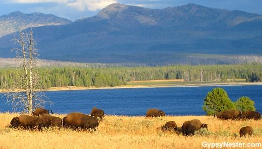 Buffalo at beautiful Yellowstone National Park