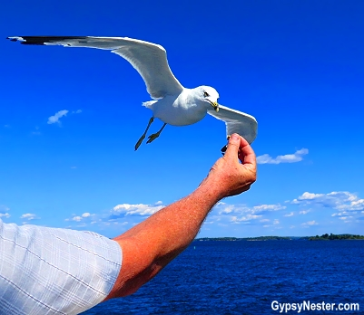 A seagull in the 1000 Islands of Ontario, Canada